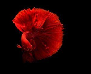 beautiful beta fish