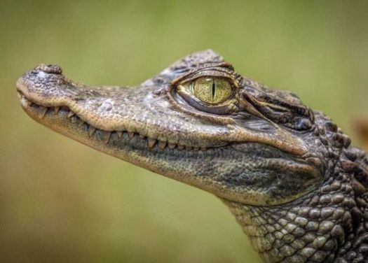 crocodile buaya
