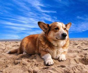 Cute corgy dog anjing lucu