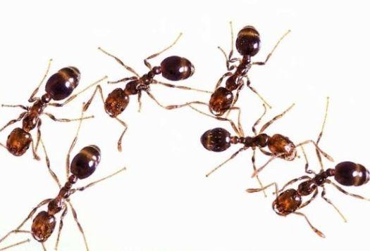 fire ants sting semut api