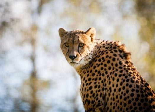 Cheetah, hewan tercepat