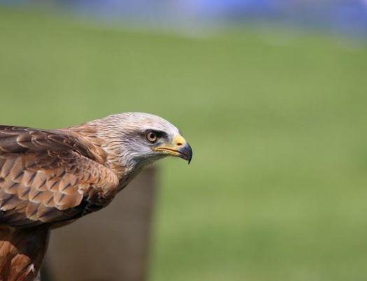 Eagle eye, tatapan tajam elang