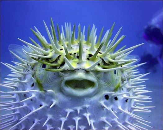 The Puffer Fish, Ikan Kembung