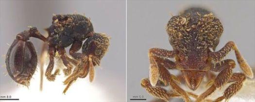 ant Eurhopalothrix zipacna