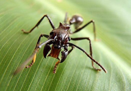 Bullet Ant, semut peluru